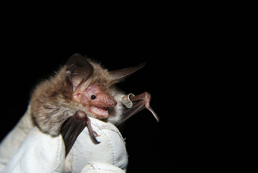 Diet analysis of Bechstein's bats