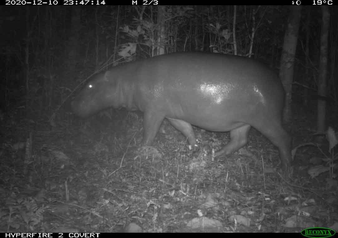 4. Pygmy hippopotamus photo captured on camera trap in Wonegizi PPA, 2020 (not at the sites mentioned in the case study)